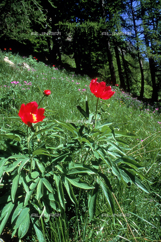 CAL-F-006421-0000 - Field with some Peonie Officinalis in the forefront
