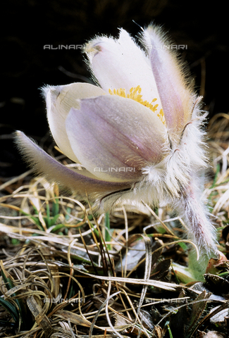 CAL-F-006422-0000 - Pulsatilla Vernalis flowers, commonly called Spring Anemone