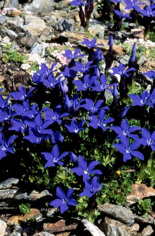 CAL-F-006423-0000 - Gentiana Brachyphylla flowers