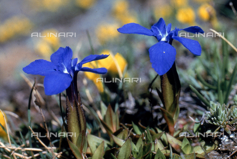 CAL-F-006424-0000 - Alpine flower called Gentiana Bavarica