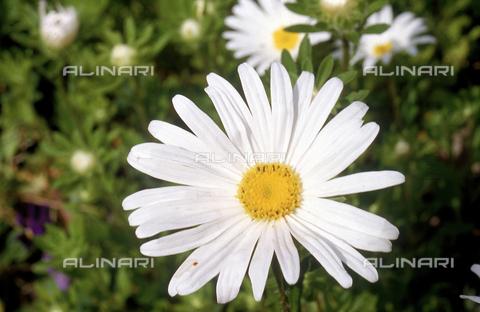 CAL-F-006426-0000 - Daisy