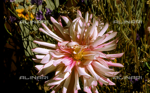 CAL-F-006431-0000 - Flower of a particular species of Dahlia or Georgina