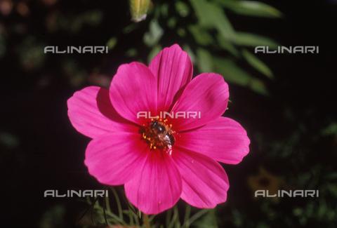 CAL-F-006433-0000 - Cosmea flower
