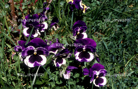 CAL-F-006434-0000 - Detail of a field with some Tri-colored violets, commonly known as pansies
