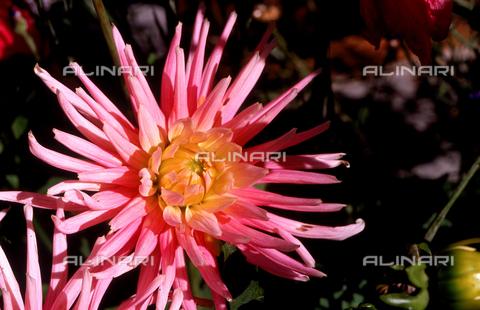 CAL-F-006438-0000 - Dahlia flower