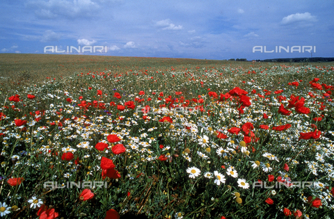 CAL-F-006439-0000 - Flowering field in Masuria