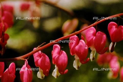 CAL-F-006440-0000 - Flowers called Bleeding Hearts in English