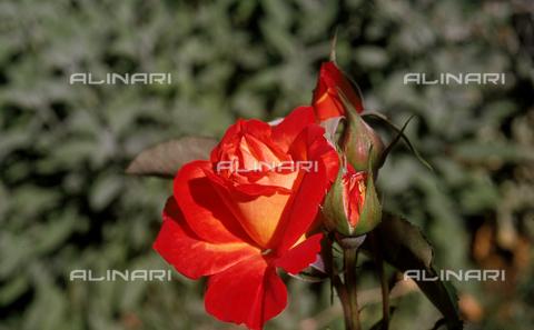 CAL-F-006441-0000 - Rosebud