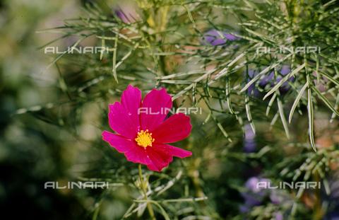 CAL-F-006442-0000 - Cosmea flower