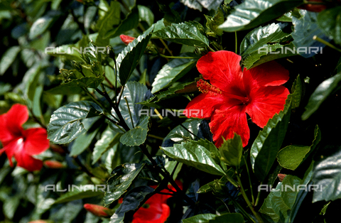 CAL-F-006443-0000 - Hibiscus flowers