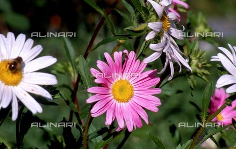 CAL-F-006444-0000 - Autumn Aster flower