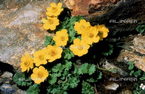 CAL-F-006446-0000 - Geum Reptans flowers