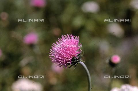 CAL-F-006447-0000 - Thistle flower