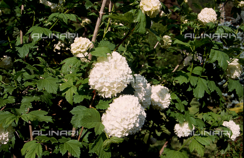 CAL-F-006449-0000 - Viburnnem Opulus flower, also called Hydrangeas in English