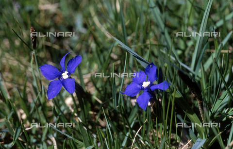 CAL-F-006452-0000 - Two Gentiana Utriculosa flowers