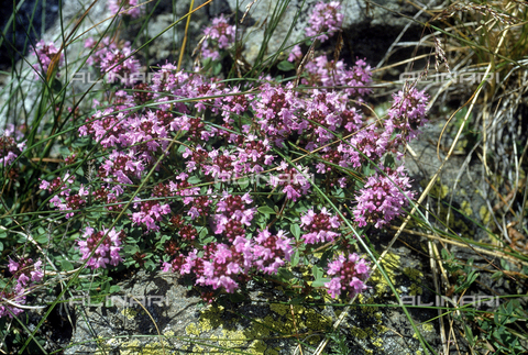 "CAL-F-006458-0000 - Thymus Serpyllum plant in bloom, commonly called ""Wild Thyme"" in English"