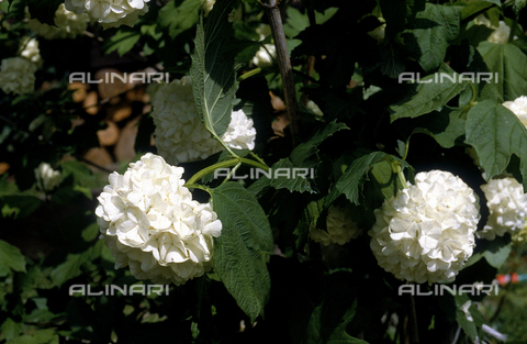 CAL-F-006459-0000 - Viburnum Opulus flowers, commonly called Hydrangeas in English