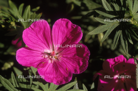 CAL-F-006460-0000 - Close-up of a Wild Geranium flower
