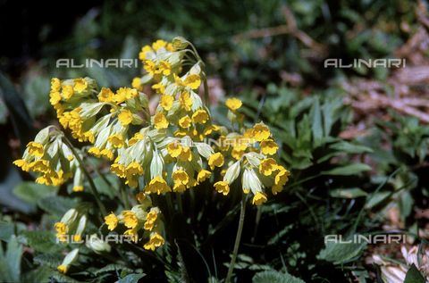 "CAL-F-006461-0000 - Primula auricola, also called ""bear's ears"""