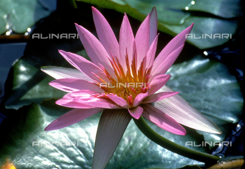 CAL-F-006462-0000 - Close-up of a pink water-lily