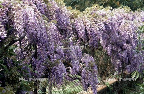 CAL-F-006464-0000 - Wisteria in bloom