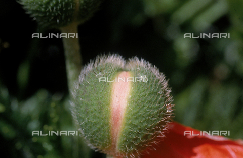 CAL-F-006466-0000 - Close-up of a poppy bud