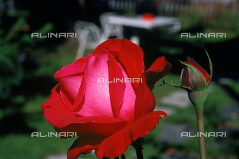 CAL-F-006468-0000 - Close-up of a red rosebud