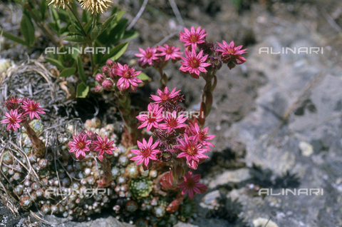 CAL-F-006469-0000 - Mountain Houseleek flowers