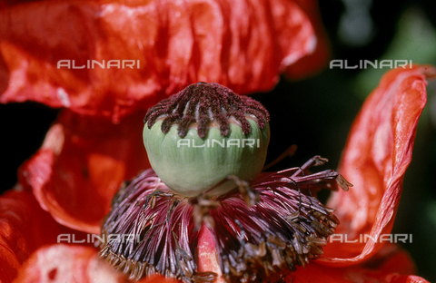 CAL-F-006472-0000 - Pistil of a cultivated Poppy