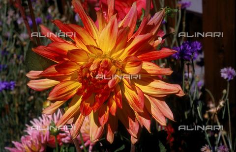 CAL-F-006473-0000 - Dahlia flower