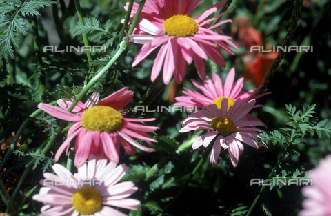 CAL-F-006475-0000 - Some cultivated Chrysanthemum Maximum flowers, commonly known as Shasta Daisies in English