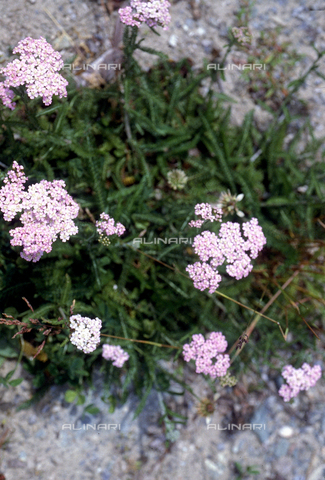 CAL-F-006477-0000 - Achillea plant in bloom