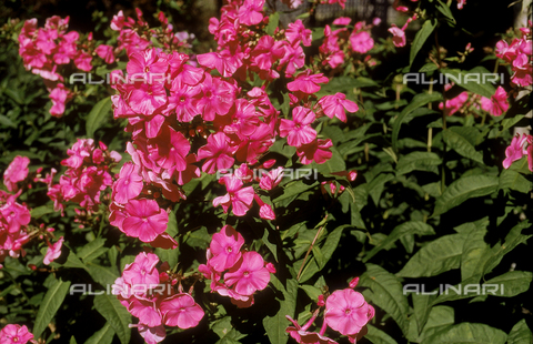 CAL-F-006478-0000 - Blooms of a Phlox plant