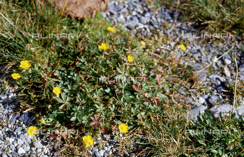 CAL-F-006481-0000 - Potentilla plant in bloom
