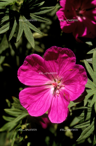 "CAL-F-006482-0000 - Geraninm Sylvaticum, commonly known as the ""Wild Geranium"""