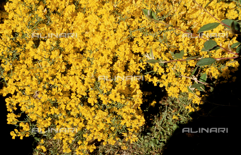CAL-F-006484-0000 - Yellow Alyssum flowers