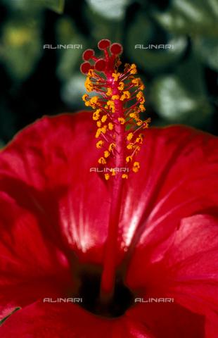 CAL-F-006485-0000 - Hibiscus flower
