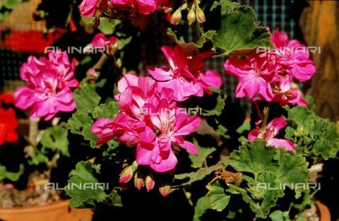 CAL-F-006486-0000 - Geranium flowers