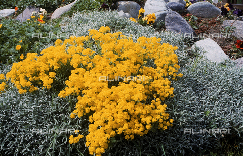 CAL-F-006487-0000 - Some Alyssum plants in bloom