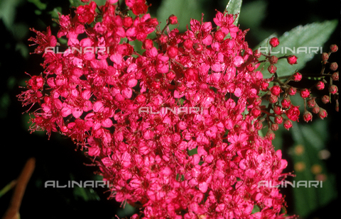 CAL-F-006488-0000 - Close-up of Spiraea flowers