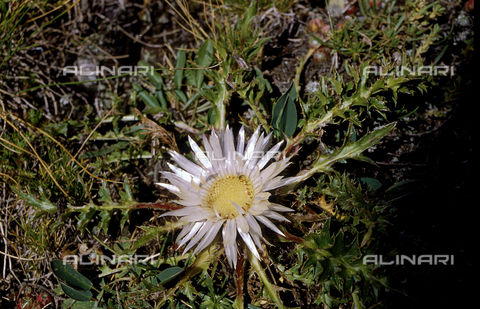 CAL-F-006489-0000 - Carlina Acaulis flower, commonly named the carline thistle