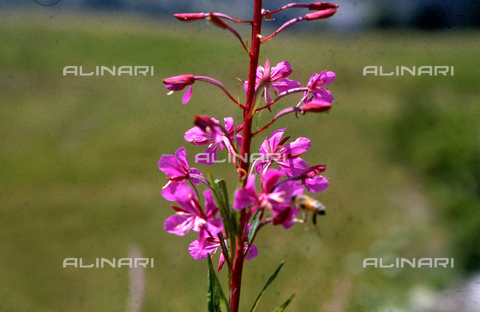 CAL-F-006492-0000 - Stem of Epilobium in bloom