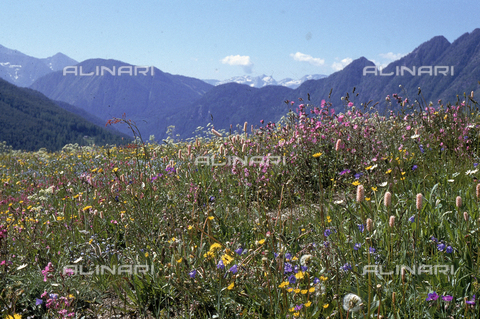 CAL-F-006501-0000 - Mountain field with various kinds of flowers. Antagnod, Ayas