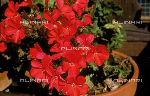 CAL-F-006502-0000 - Pot with red Geranium flowers