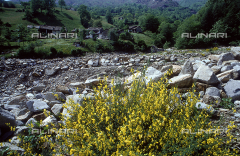 CAL-F-006506-0000 - Scene of a rocky landscape with some Ginestra (Spanish Broom) flowers in the forefront. Valchiusella, Piedmont
