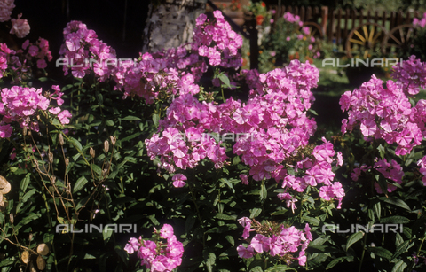 CAL-F-006508-0000 - Phlox flowers