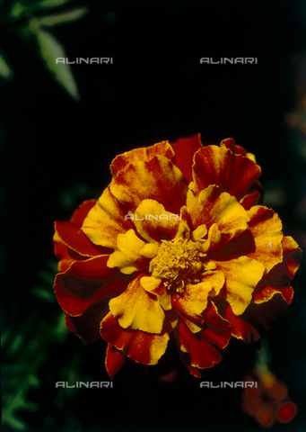 CAL-F-006514-0000 - Close up of a marigold flower