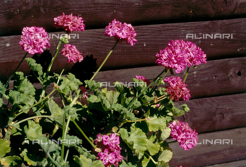 CAL-F-006515-0000 - A geranium plant in flower