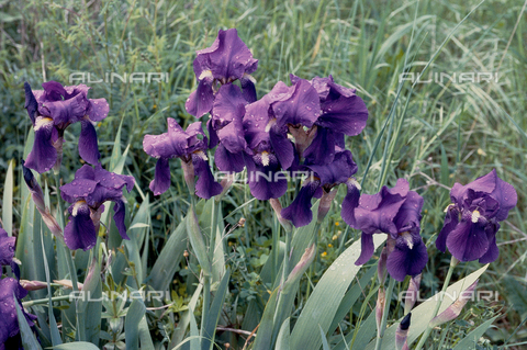 CAL-F-006517-0000 - An iris in flower