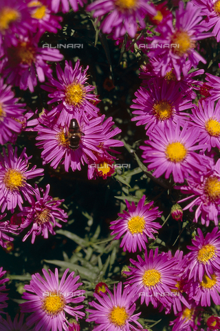 CAL-F-006527-0000 - A few examples of flowering aster autunnali. A bee is resting on a flower gathering pollen